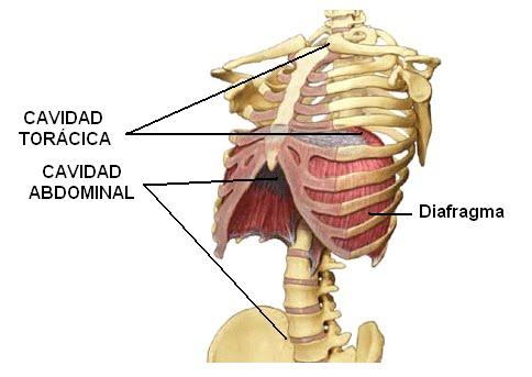 Imagen 5 - Diafragma Costal